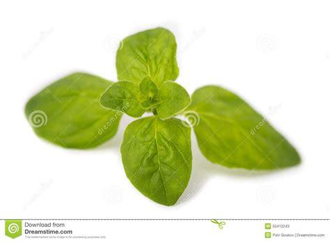 origan frais en cuisine brin d origan frais photo stock image 50412243