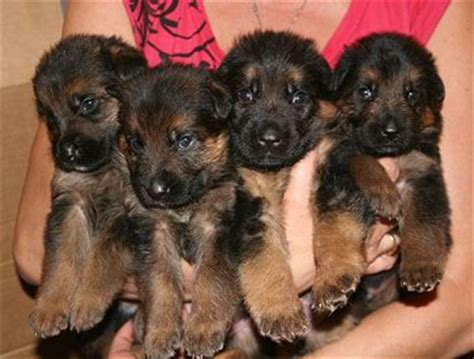 3 week german shepherd puppies german shepherd 3 weeks