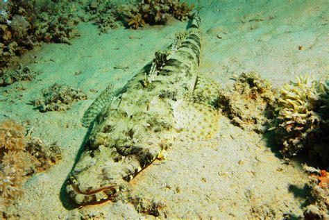 teppich krokodilfisch teppich krokodilfisch bild foto volker pfeffer aus