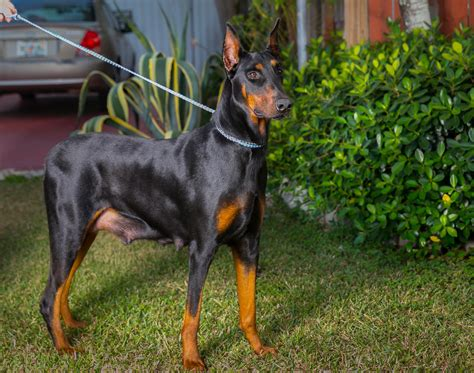 hoobly puppies for sale doberman pinscher puppies for sale in hoobly classifieds
