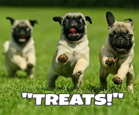 best pug pictures best 25 pugs ideas on