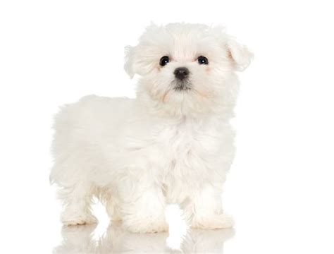 maltese puppy haircuts haircuts for maltese dogs pets