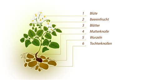 Beschriftung Kartoffelpflanze by Informationen Friweika Eg