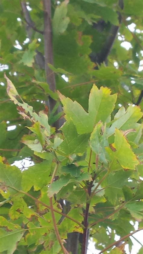 problems with maple trees autumn blaze maple problems ask an expert