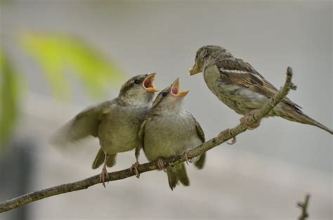 57 best images about sparrows on pinterest tree peony