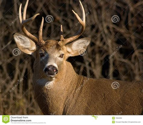 image buck whitetail deer buck stock image image of buck white