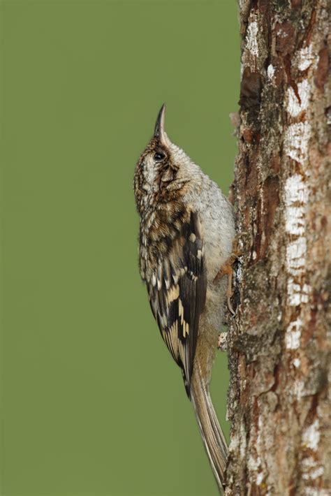file brown creeper certhia americana jpg wikimedia commons