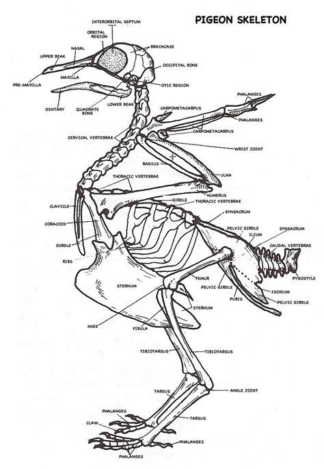 labeled bone diagram labeled pigeon skeleton diagram pigeon ideas