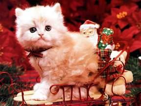 christmas kitten christmas wallpaper 2736116 fanpop