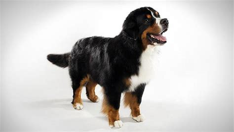 how much are bernese mountain puppies bernese mountain breed selector animal planet