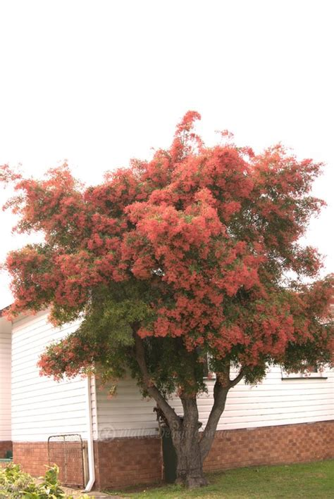 ceratopetalum gummiferum nsw christmas bush for brisbane