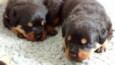 rottweiler puppies for sale in cornwall rottweiler pups truro cornwall pets4homes