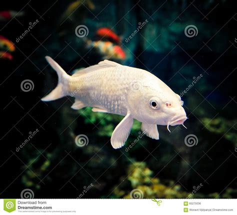 aquarium white carp fish