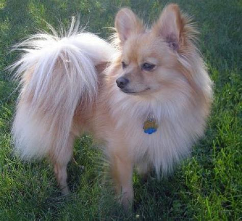 pomeranian mixed with papillon papillon pomeranian mix puppies for sale zoe fans pooches like rickinou