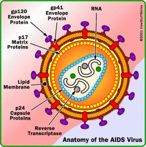 diagram of hiv virus a diagram of hiv human immunodeficiency virus