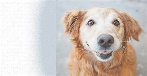 gold golden retriever rescue golden retriever breed rescue assistedlivingcares