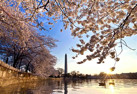 national cherry blossom festival where to travel in march forbes travel guide stories