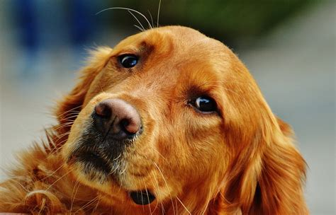 recherche golden retrievers photo gratuite golden retriever chien fourrure image gratuite sur pixabay 1342257