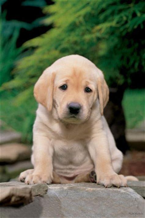 buy labrador puppy a sad looking labrador puppy labrador puppy poster buy