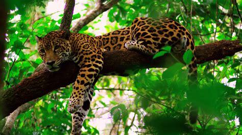 jaguars rainforest belize jungle tours in the designated jaguar