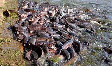 Pakan Lele Fi Fast catfish problem in keoladeo rajras in