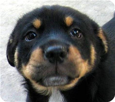 adopting a rottweiler tips baby watson adopted puppy 120114 oakley ca terrier unknown type small