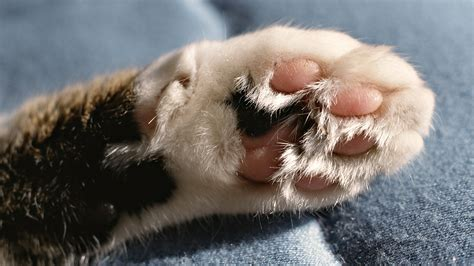 wallpaper cat paw cat paws wallpaper wallpapersafari