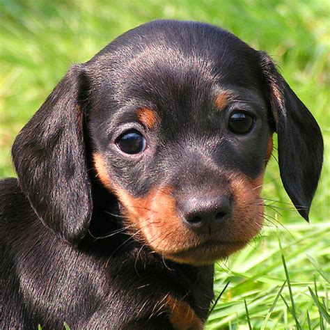 puppy slideshow dachshund puppies wallpaper wallpapersafari