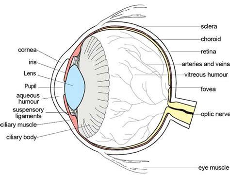 the diagram unlabeled diagram of the eye anatomy organ