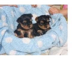 free puppies in gulfport ms akc trained teacup yorkie puppies animals gulfport mississippi announcement 26362