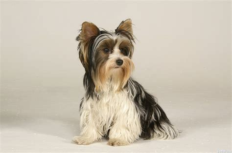 what are biewer yorkies 1000 images about х biewer terrier on