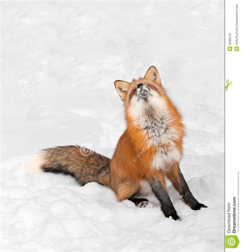 fox looking fox vulpes vulpes sits in snow looking up stock image image 29389131