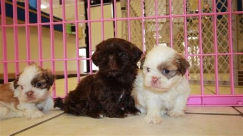 local shih tzu puppies for sale handsome teacup chocolate shih tzu puppies for sale in atlanta at puppies for sale