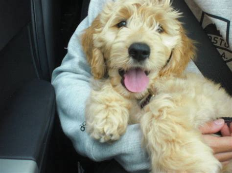 mini goldendoodles ottawa breeds goldendoodle oodles of doodles breeds picture