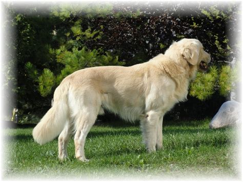 golden retriever club wisconsin golden retriever wisconsin retriever breeder appleton breeds