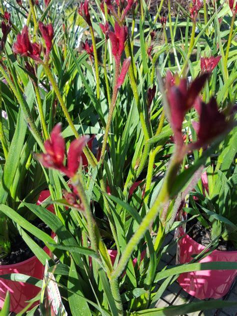 kangaroo paw bush gems native plants ross evans