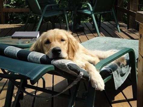 golden retrievers tips home ilovemygoldenretriever