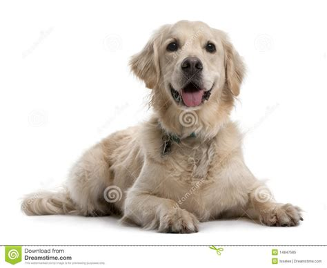golden retriever 4 years golden retriever 4 years lying royalty free stock photo image 14847585