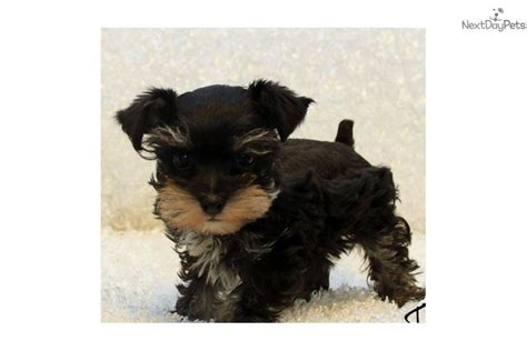 puppies for sale in kansas city miniature schnauzer puppies for sale in kansas city missouri breeds picture