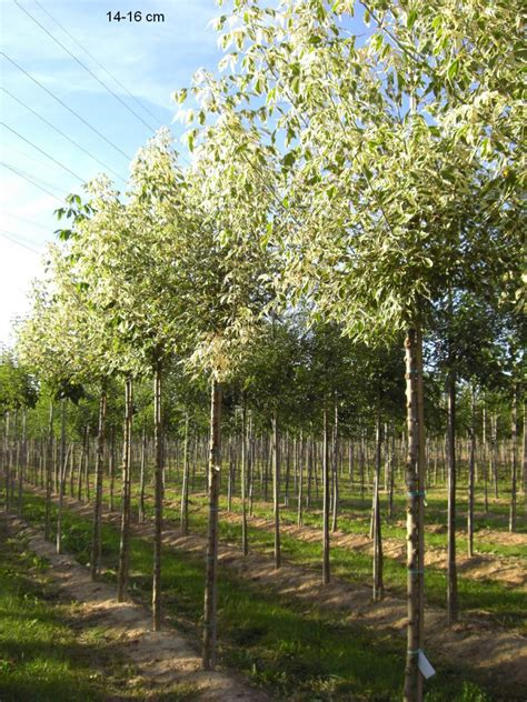 kleiner baum für garten kugelbaum 226 bl 195 188 tenbaum 226 kleinbaum 226 s 195 164 ulenobst 226