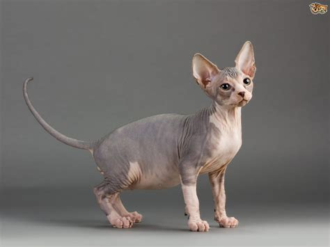hairless breeds hairless cat breeds pets4homes
