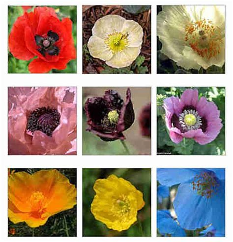 growing different kinds of poppies deer resistant