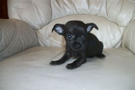 black chihuahua puppies chihuahua puppies 3 black boys 1 mexborough south pets4homes