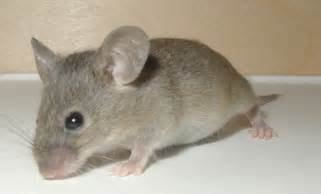 mouse images picture 2 of 3 mouse apodemus sylvaticus pictures