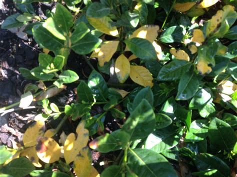 yellowing  leaves burkes backyard