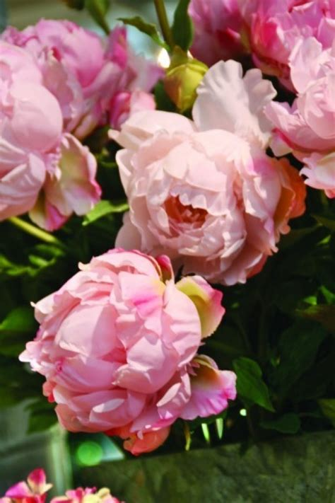 how and when to divide peonies