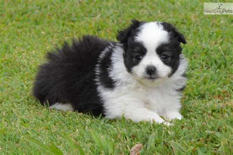 teacup australian shepherd puppies for sale miniature australian shepherd puppy for sale near jackson tennessee 16fbdb6a 03c1