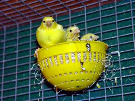 Sarang Burung Finch Kenari Dan Sejenisnya penyebab telur burung kenari tidak menetas binatang peliharaan