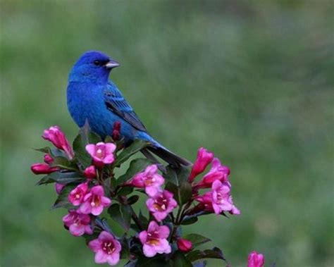 beautiful blue color blue bird and pink flowers birds wallpaper id 1215399
