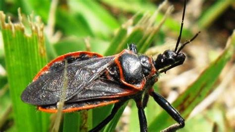 are bed bug bites dangerous bug bites pictures slideshow identifying bugs and bug bites memes